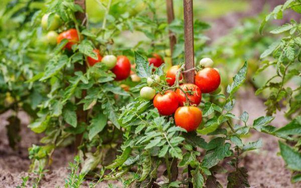 Pomidory w ogrodzie. Jak uprawiać to cenne warzywo