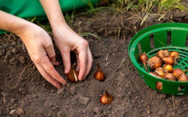 Sadzenie roślin cebulowych: sadzimy tulipany, narcyzy, hiacynty, krokusy